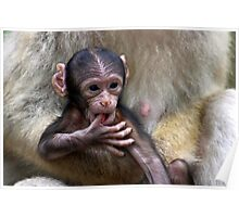 Baby Barbary Macaque Poster