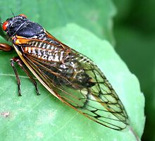Finleyville, PA: 17 Year Cicada by ACImaging
