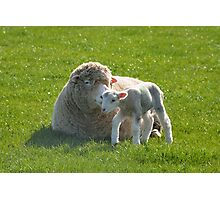 one small step for a lamb Photographic Print