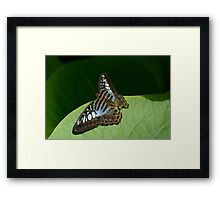 Blue Clipper Butterfly Framed Print