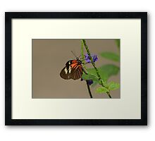 Common Cattleheart Butterfly Framed Print