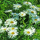 Field of Daisies by Lesliebc