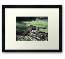 Asian Mongoose Framed Print