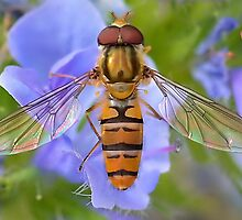 Hoverfly Wings  [ PVL ] by relayer51