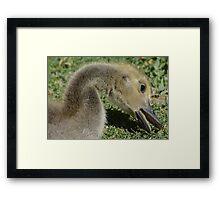 Canada Goose Gosling Framed Print
