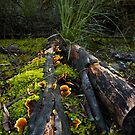 Fungi of the Forest by Anthony Davey