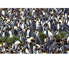King Penguin Rookery Photographic Print