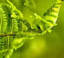 a young green fern growing in forest Sticker