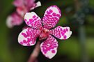 Pink and White Orchid by Carole-Anne