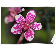 Pink and White Orchid Poster
