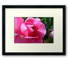 Pink rose in the garden. Framed Print