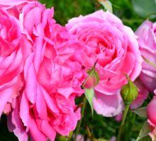 Pink rose in the garden. Sticker