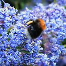 Bee on Ceanothus - Californian Lilac by AnnDixon