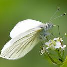 Green-veined White Butterfly by Neil Bygrave (NATURELENS)