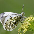 Female Orange-tip Butterfly by Neil Bygrave (NATURELENS)