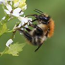 Bumblebee by Neil Bygrave (NATURELENS)