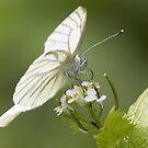 Green-veined White by Neil Bygrave (NATURELENS)