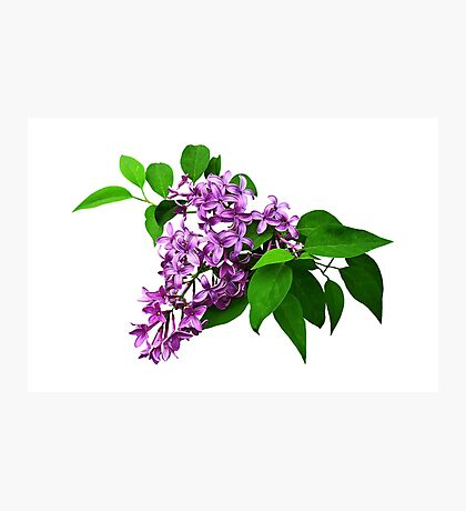 Lilacs and Leaves Photographic Print