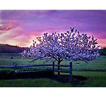 Apple Blossom Sunrise  Photographic Print