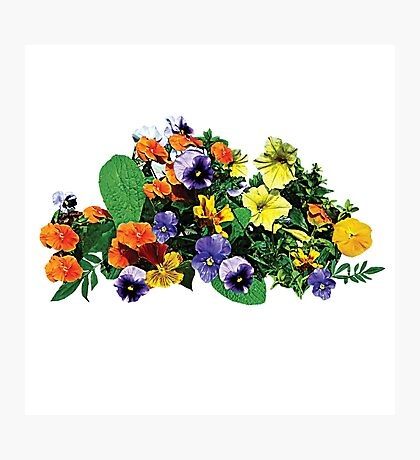 Patch of Pansies Pansies Photographic Print