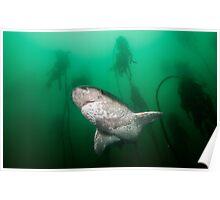 Broadnose Sevengill Shark, South Africa Poster