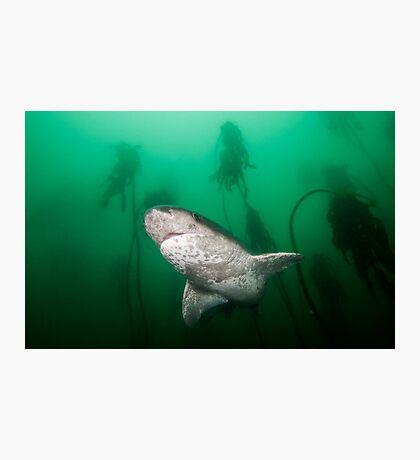 Broadnose Sevengill Shark, South Africa Photographic Print
