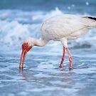 Ibis on Sanibel Island by Bonnie T.  Barry