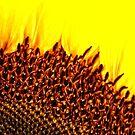Sunflower by Karen  Betts