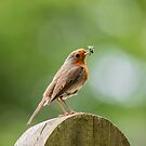 Robin with caterpillars  by SteveHphotos