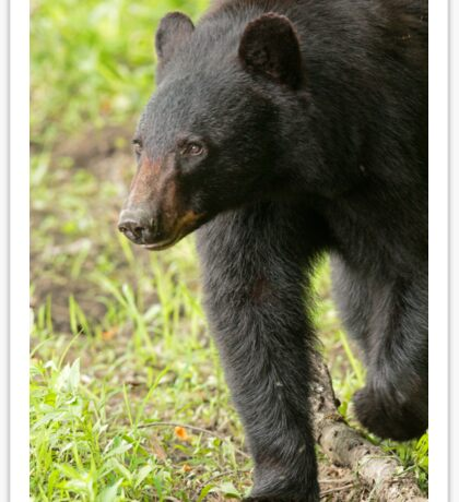 Black Bear on the Move Sticker