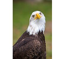 Closeup of an American Bald Eagle in Ecuador Photographic Print