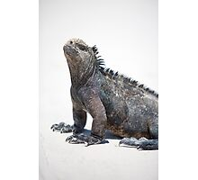 Marine iguana in the Galapagos islands Photographic Print