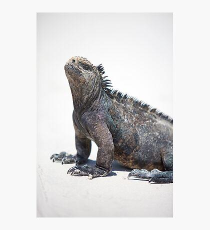 Marine iguana in the Galapagos islands Photographic Print