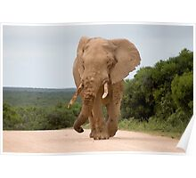 Elephant in Addo Park Poster