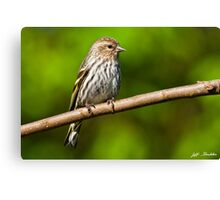 Pine Siskin Perched on a Branch Canvas Print