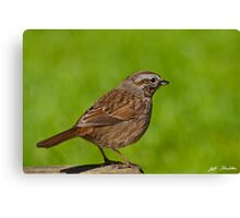 Song Sparrow on a Log Canvas Print