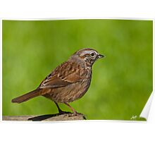 Song Sparrow on a Log Poster