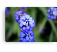 Grape Hyacinth - Muscari botryoides Canvas Print