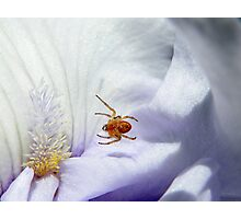 Spider suspended above Iris petals (click to enlarge) Photographic Print