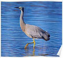 WADER ~ White-faced Heron by David Irwin Poster