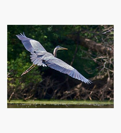 Great Heron Photographic Print