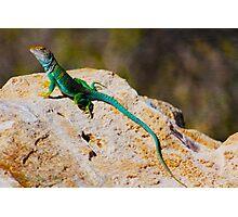 Collared Lizard Photographic Print