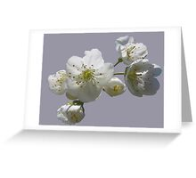 cherry tree in blossoms on lilac grey background Greeting Card