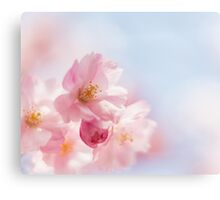 Cherry blossom in spring. Canvas Print