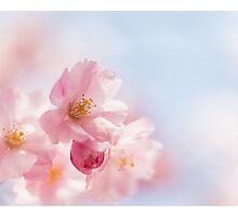 Cherry blossom in spring. Photographic Print