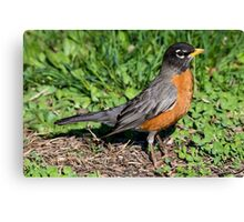 American Robin in the Grass Canvas Print