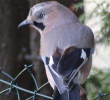 Natur Eichelhäher Vogel - Nature Eurasian jay Bird Sticker