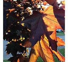 Sunlight Through The Maple Leaves Photographic Print