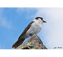 Gray Jay With Blue Sky Background Photographic Print