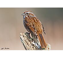Song Sparrow on a Driftwood Perch Photographic Print